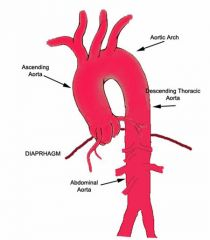 Den store hovedpulsåre hedder aorta.