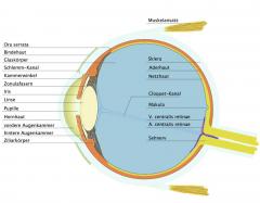 - Gefäßhaut (Uvea) → Regenbogenhaut (Iris) → Ziliarkörper (Corpus ciliare) → Aderhaut (Choroidea)