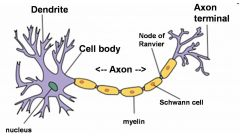 """Bookdefinition: """"The part of a neuron that carries information from one region of the brain toanother. (p. 12)""""    Axons connect, or synapse, to the tree-like dendrites of other neurons. Axons can bemyelinated, meaning they becomesurrounded by..."""