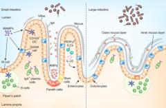 M cells - involved in antigen sampling and mucosal immunity