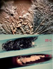 Dimorphic dematiaceous fungus, growth 3-5d