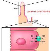 Potassium: simple diffusion    Water absorption/secretion: osmosis - paracellular/transcelluar