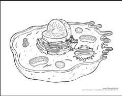 Label the animal cell.