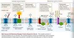 Jonotropa - påverkar membranpotentialen, jonkanaler öppnas direkt vid stimulering. A receptor that that directly alters membrane permeability to a type of ion when it combines with its ligand.   Metabotropa - använder 2nd messengers och signalf...