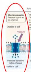 Mekanoreceptor