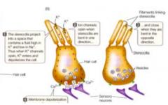 Huden innehåller flera olika typer mekanoreceptorer som reagerar på smärta, tryck, beröring, kyla, värme. Hårcellen är en mekanoreceptor som reagerar på tryck genom att läcka vätska.