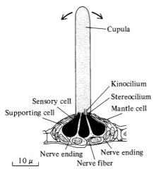 Hårcell hos fiskar, sitter i sidolinjen och känner av små små förändringar i strömningarna vattnet runtomkring. Det finns ytliga och de som sitter i kanaler med porer.