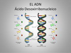 ÁCIDO DESEXIRRIBONUCLEICO (ADN)