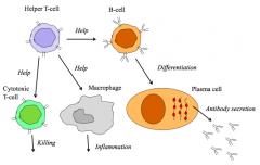 >Lymphocytes  - highly antigen specific  - undergo tolerance, breakdown of which causes autoimmunity