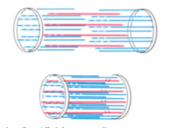 >Muscle shortens by as much as 33% of its original length on contraction  - Lengths of thick and thin filaments do not alter on contraction  - Sarcomere shortens because the thick and thin filaments slide past each other during contraction  - The force