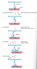 1. ATP binding:  - In the absence of bound ATP, myosin binds tightly  - when ATP binds, it closes the ATP cleft in the S1 head and opens the actin binding cleft in the S1 head, so weakening binding to actin  - myosin then dissociates from actin 2. ATP