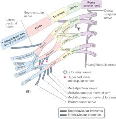 -medial pectoral nerve -medial cutaneous nerve of arm -medial cutaneous nerve of forearm -ulnar nerve -median nerve
