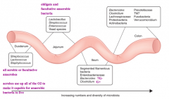 - Microbial composition changes from proximal to distal intestine, moving from domination by aerobic species to facultative and obligate anaerobes in colon - Also as you go more distally there are increasing numbers and diversity of microbes