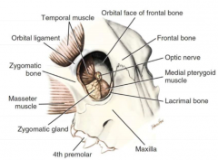 orbital ligament is well-defined fibrous band at the caudolateral aspect of the orbit rim   function: 1. links zygomatic process of frontal bone w/ frontal process of zygomatic bone 2. it attaches orbicularis oculi m. and lateral palpebral ligament
