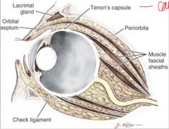 1. vagina bulbi 2. muscular fasciae 3. periorbita