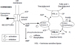 Figure 1. Hormonal activation of triacylglycerol (hormone-sensitive) lipase. Phosphorylation brings about activation to HSL-a.