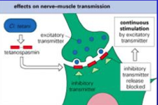 Tetanus toxin (tetanospasmin, an AB neurotoxin), enters at neuromuscular junction => transported by motor neurons to ganglia.   Toxin binds irreversibly to ganglioside receptors => blocks release of inhibitory neurotransmitter (glycine and GABA) b...