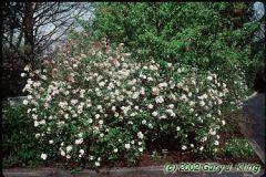 Flowering Virburnums (Winter, Highbush Cranberry, Snowball, etc.)
