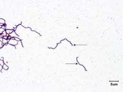 caused by Treponema pallidum is a Gram-negative bacteria which is spiral in shape. It is an obligate internal parasite. Has to be gram stained with      due to it's high lipid content.  Spread from person to person by direct contact with a sore, k...