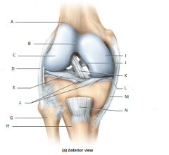 Where is the articular cartilage of the knee?