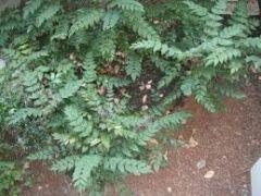Oregon Grape (low Mahonia)