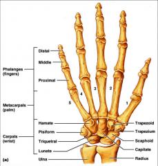 Scaphoid Lunate Triquetrum/Triquetral Pisiform