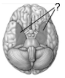 The shades areas on this drawing of the inferior surface of the brain illustrate the position of the...