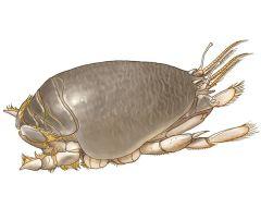 Host: Emeritas analoga Parasite: Acanthocephalan Polymorphus sp.