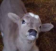 What is the first step of our nervous exam of a sheep or cow?