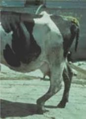 How can we assess upper limb reflexes in cows? Name some?