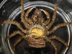 Host: Sheep Crab Loxorhynchus Parasite: Rhizocephalan Heterosaccus californicus