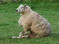 What age of sheep is sarcocystis usually seen? What are signs?