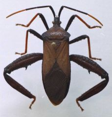 """Class Insecta """"true bugs""""  X-shaped wings Stylet mouthpart Posteriorly directed stylet Mostly winged (Cimex sp. are an exception) Includes Triatoma sp. Chagas disease (Trypanosoma cruzi) vector & Cimex sp. bedbugs!"""