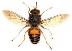 Order Diptera Tsetse fly. Vector for African Sleeping Sickness (Trypanosoma brucei)