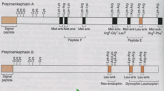 Preproenkephalin B arose from  duplication of preproenkephalin A.    Preproenkephalin A has 4 met-enkephalins and two extended enkephalins (Arg-Gly-Leu, Arg-Phe)   Preproenkephalin has two Leu-enkephalins.   All are bounded by basic pairs.