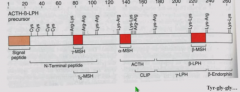 C-terminus of POMC Betaendorphin starts with Tyr-gly-gly but no paired basic after Tyr-gly-gly-phe-met so not processed to met-enkephalin  But active in opioid receptors because tyrosine is liberated (free tyrosine = opioid activity)