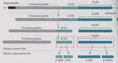 Yes POMC generates ACTH (adrenal medulla) and beta-endorphin (opioid receptors).