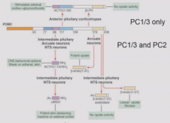 In anterior pituirary, PC1/3 are only present to make ACTH In intermediate pituitary, PC2 is present which is not as specific as PC1/3. Cleaves ACTH into alpha MSH. Beta-endorphin can be acetylated to remove exposed tyrosine, inactivating.