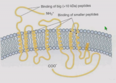Big peptides bind to extracellular N terminus Smaller peptides bind to extracellular loops between domains