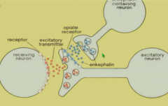 Interneuron releases enkephalins which binds to opioid receptors to modulate release of excitatory neurotransmitter i.e. substance P