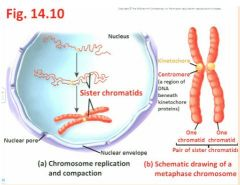 """- S is the time for Synthesis (=replication) of the nuclear DNA; each elongated chromosome has been duplicated, and is now said to consist of sister chromatids - see Fig. 14.10 """"the bulk of what we're seeing here may be 23-24 hours so interphase is a lon"""