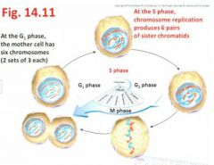 - When S phase is completed, the cell then contains twice as many chromatids as the number of chromosomes present in the G1 phase - revisit fig 14.11,