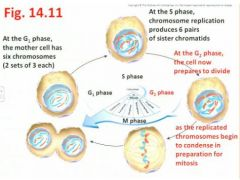 """- the second Gap (gap before you get to the M phase)  or Growth stage where the cell prepares for division, eventually to be followed by the M phase - revisit Fig 14.11""""Sister chromatids per chromosome are going to start to condense and coil a little more"""