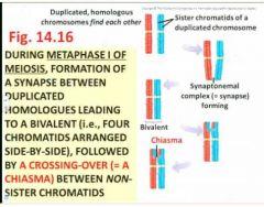 between adjacent, non-sister chromatids of the bivalent