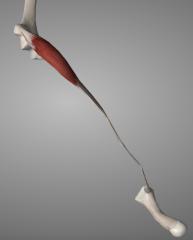 o: medial epicondyle (via common flexor tendon) i: 2nd metacarpal base a: abducts & flexes hand at wrist
