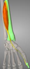 o: radius& interosseus membrane i: distal phalanx (thumb) a: flexes thumb