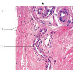 A) Arteriole and venule in the dermis