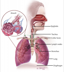 *Anatomical Barriers *Normal Oral Flora *Coughing and the Mucociliary Elevator *Cellular and Humoral Immunity