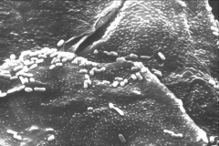 Normal Flora on Buccal Cells