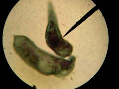 Name the genus and phylum.Point out the macronucleus.